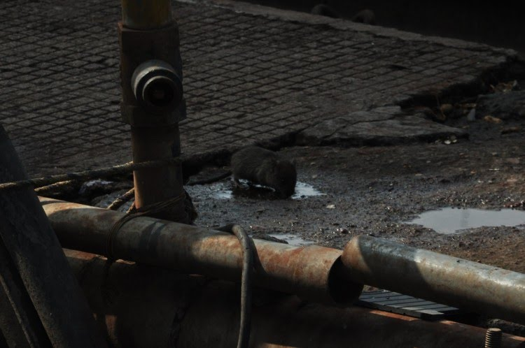 झांसी रेलवे स्टेशन पर रेल पटरियों पर के पास घूमते चूहे।
